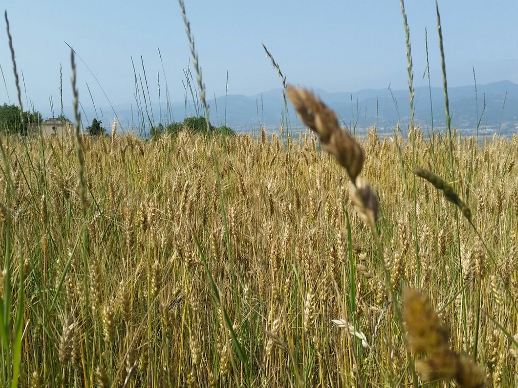 campo di grano Cammino Francesco 2016