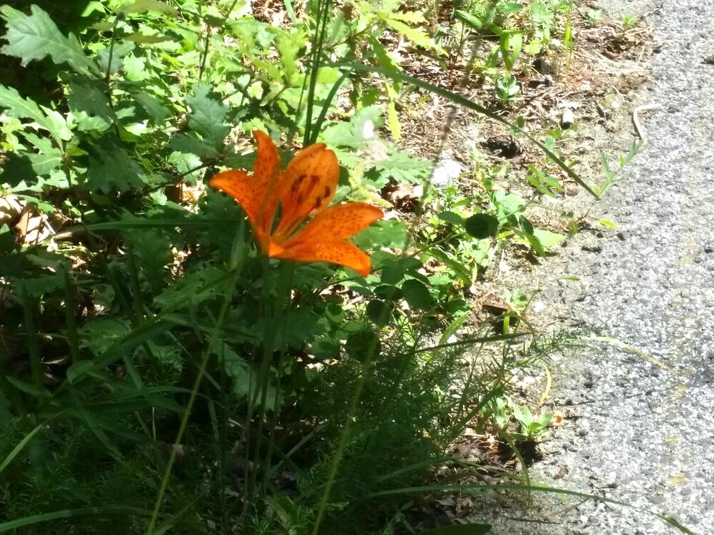 fiori arancio Cammino Francesco 2016