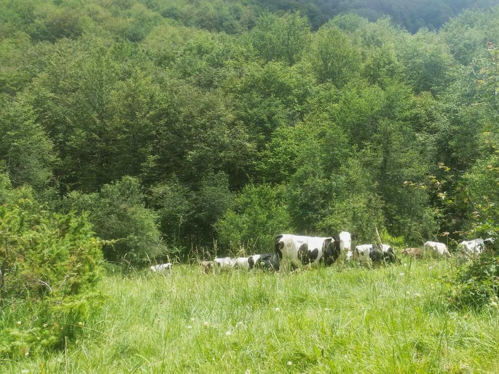 mucche Cammino Francesco 2016
