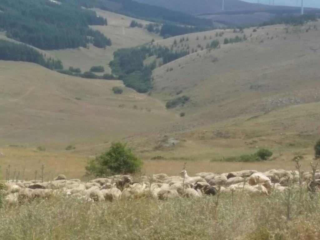 pecore Cammino Francesco 2016