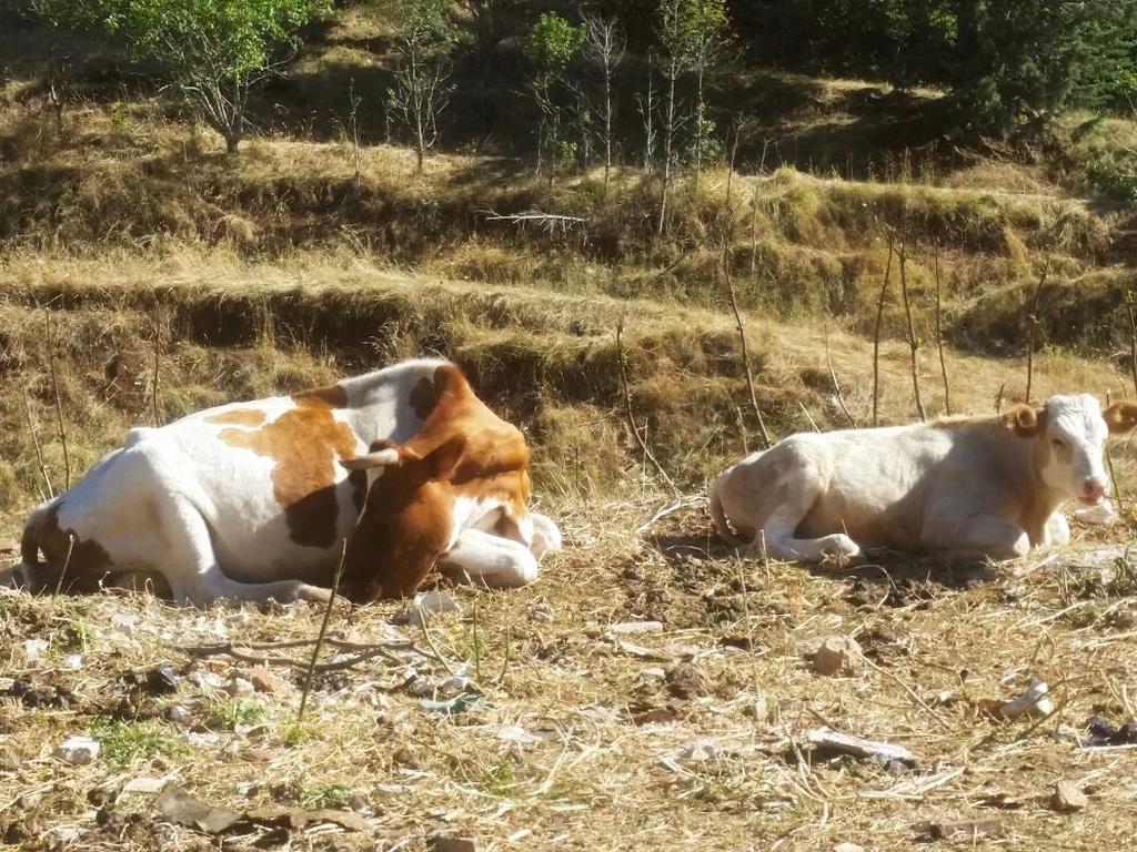 vacche Cammino Francesco 2016