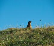 Marmotta sentinella di vedetta_Passicreativi