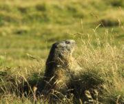 Marmottino appena sveglio_Val di Rhemes_Passicreativi
