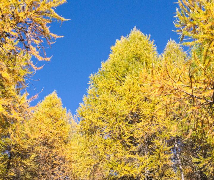 Larici autunno_Val Camonica_Passicreativi