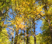 Foliage Larici_Val Camonica_Passicreativi